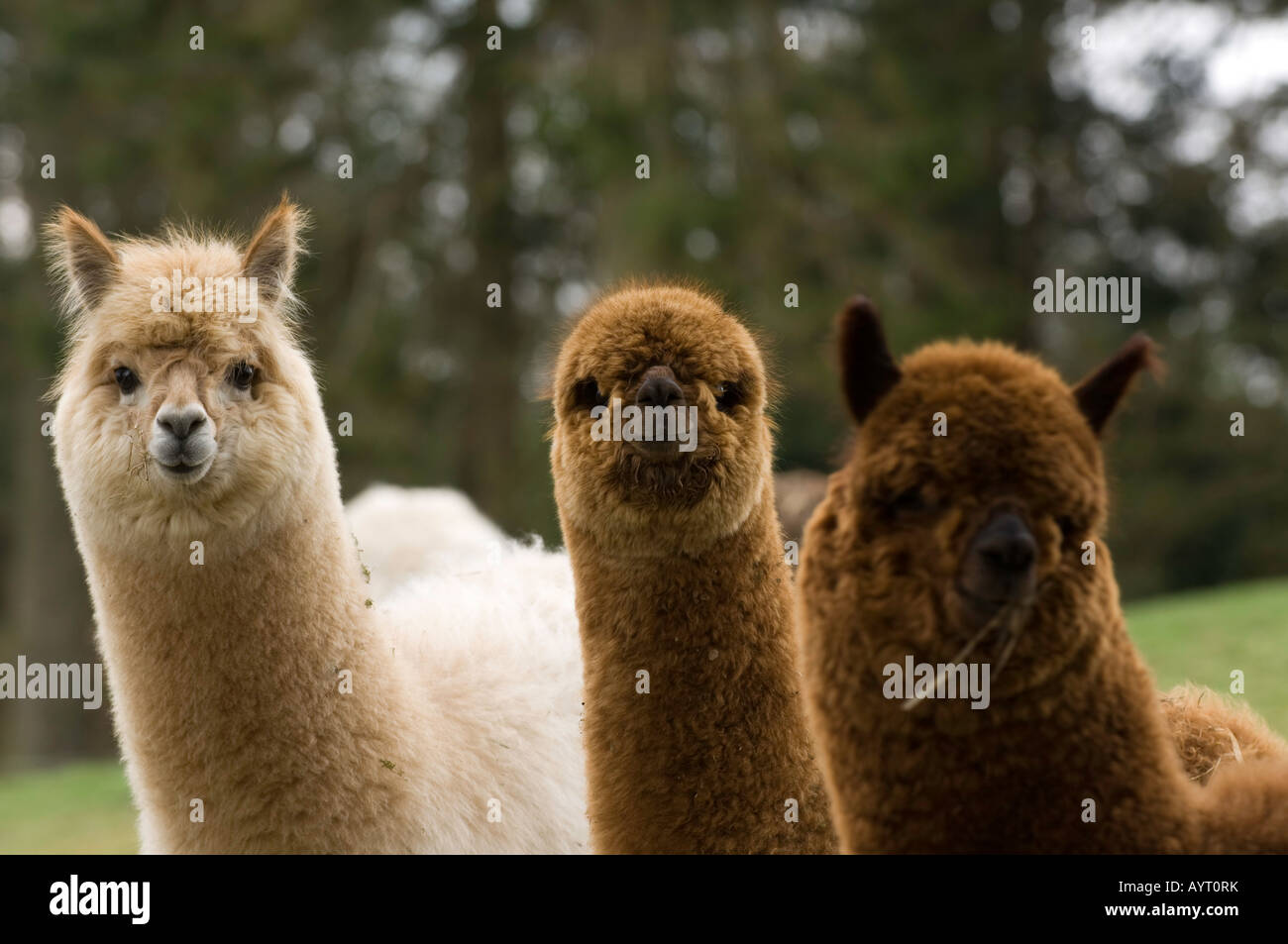 Alpaca Lama pacos adults in field during winter Cumbria - Stock Image
