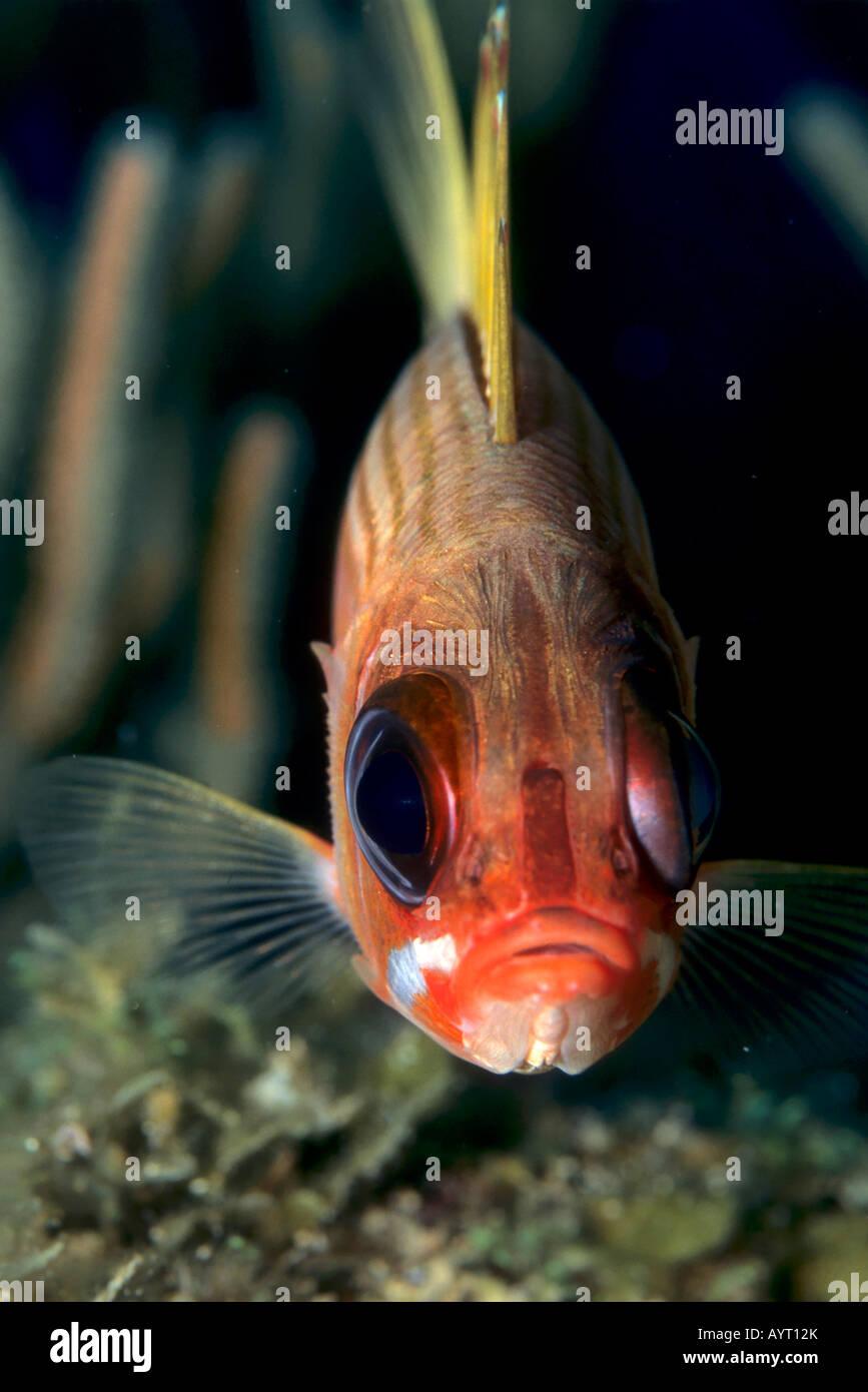 Squirrelfish (Holocentrus adscensionis), Caribbean Stock Photo