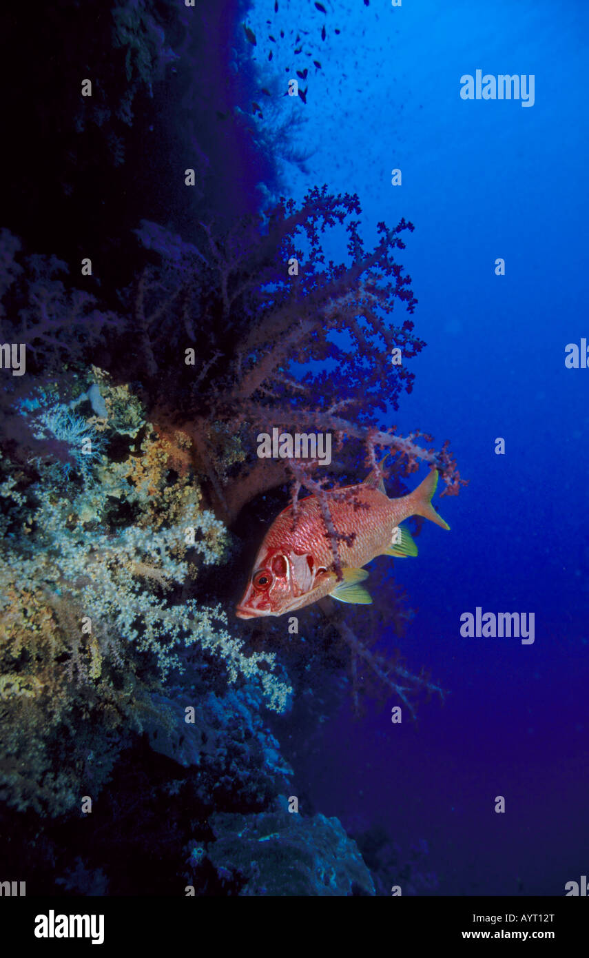 Giant Squirrelfish or Sabre Squirrelfish (Sargocentron spiniferum) on a drop off, Red Sea - Stock Image