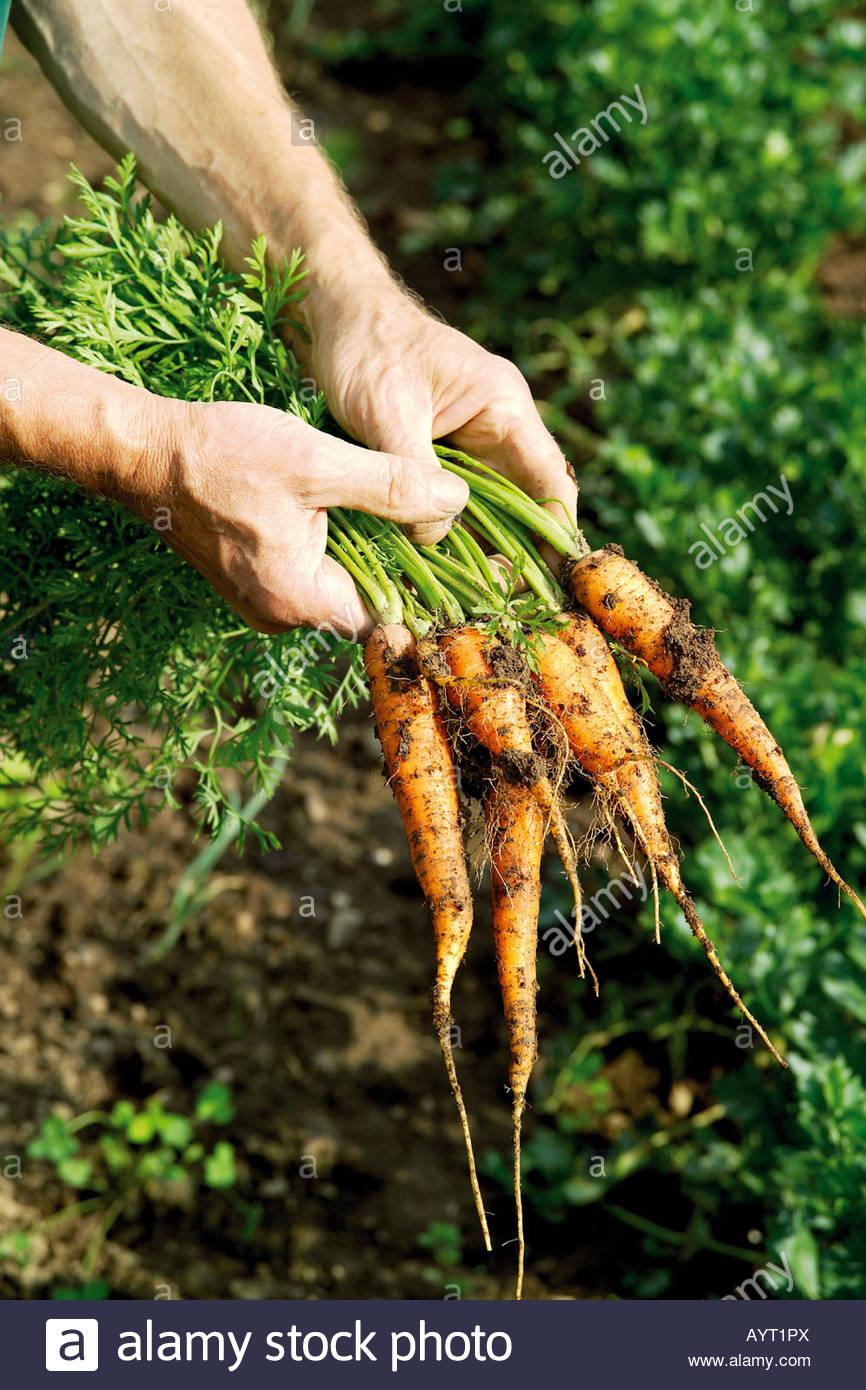 Gardener, Garden, Horticulture, Carrot harvest - Stock Image
