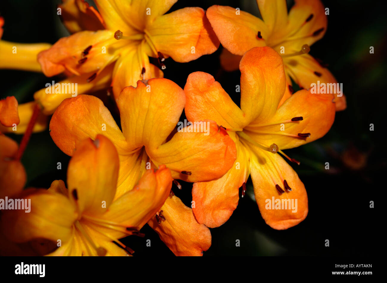 Rhododendron sunny orange flowers lepidote bushy half hardy rhododendron sunny orange flowers lepidote bushy half hardy perennial evergreen shrub blooming flowering plant blossom mightylinksfo
