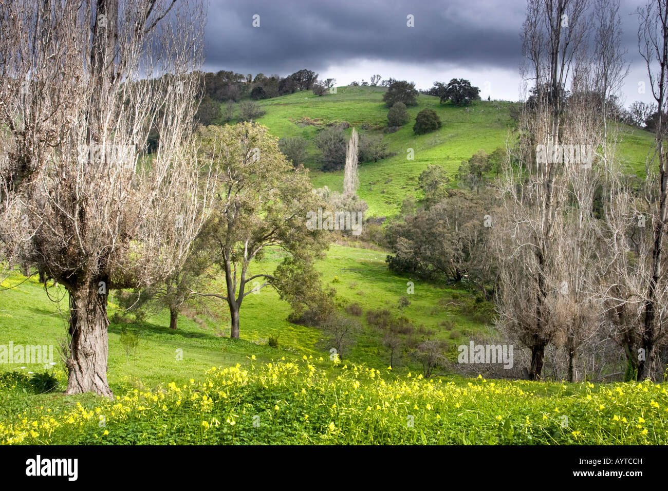 Yellow flowers growing in a lush green valley at Wungong Gorge in Perth, Western Australia - Stock Image