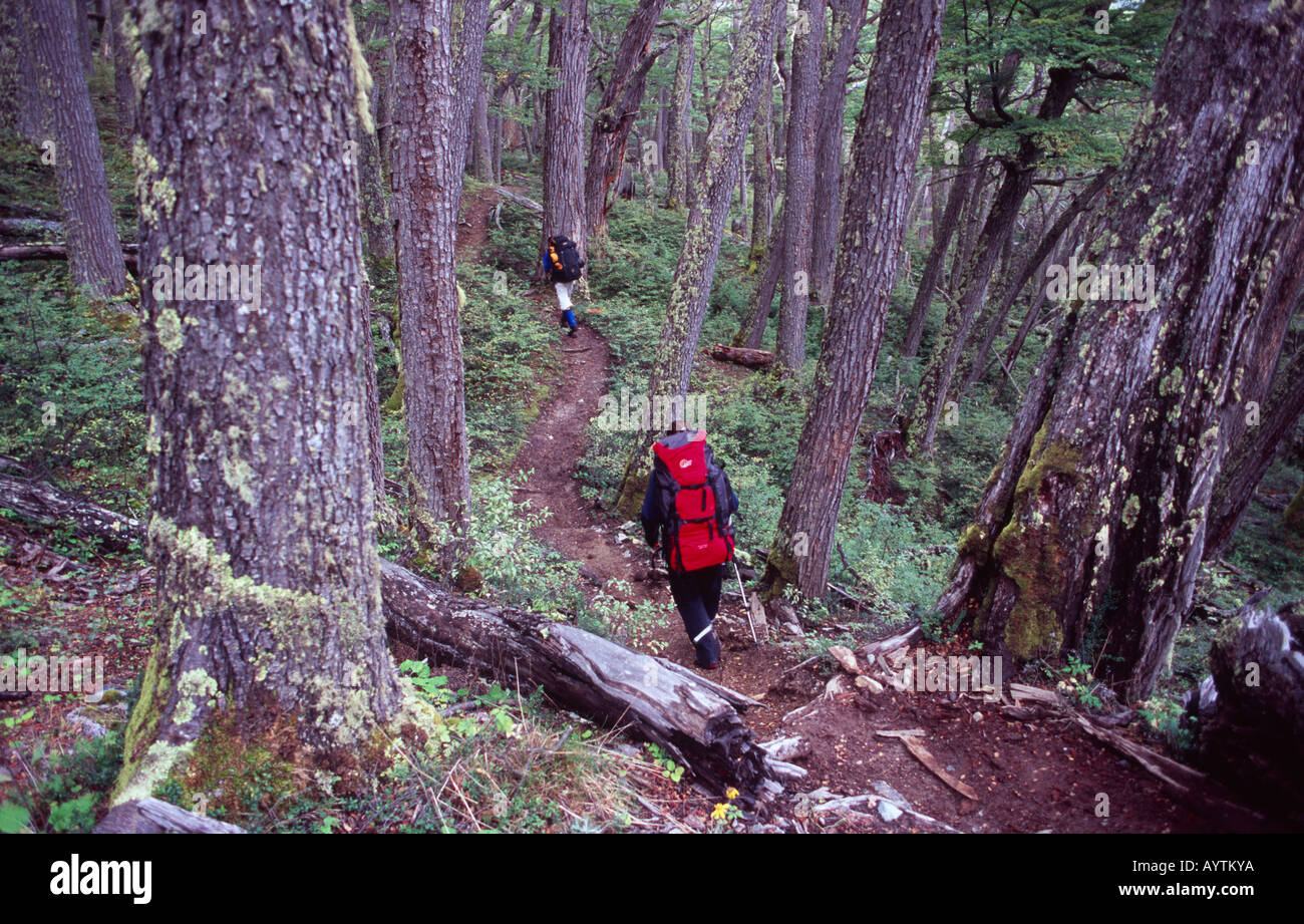 Trekking through a Lenga forest, Paine Circuit, Torres del Paine National Park, Patagonia, Chile - Stock Image