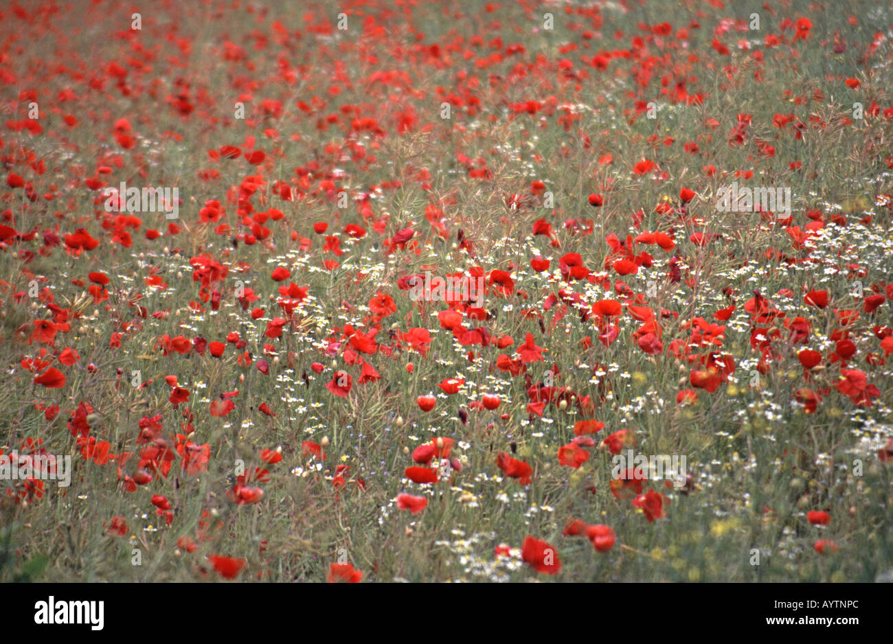 United kingdom poppies and daisies growing in a field near oxford united kingdom poppies and daisies growing in a field near oxford izmirmasajfo