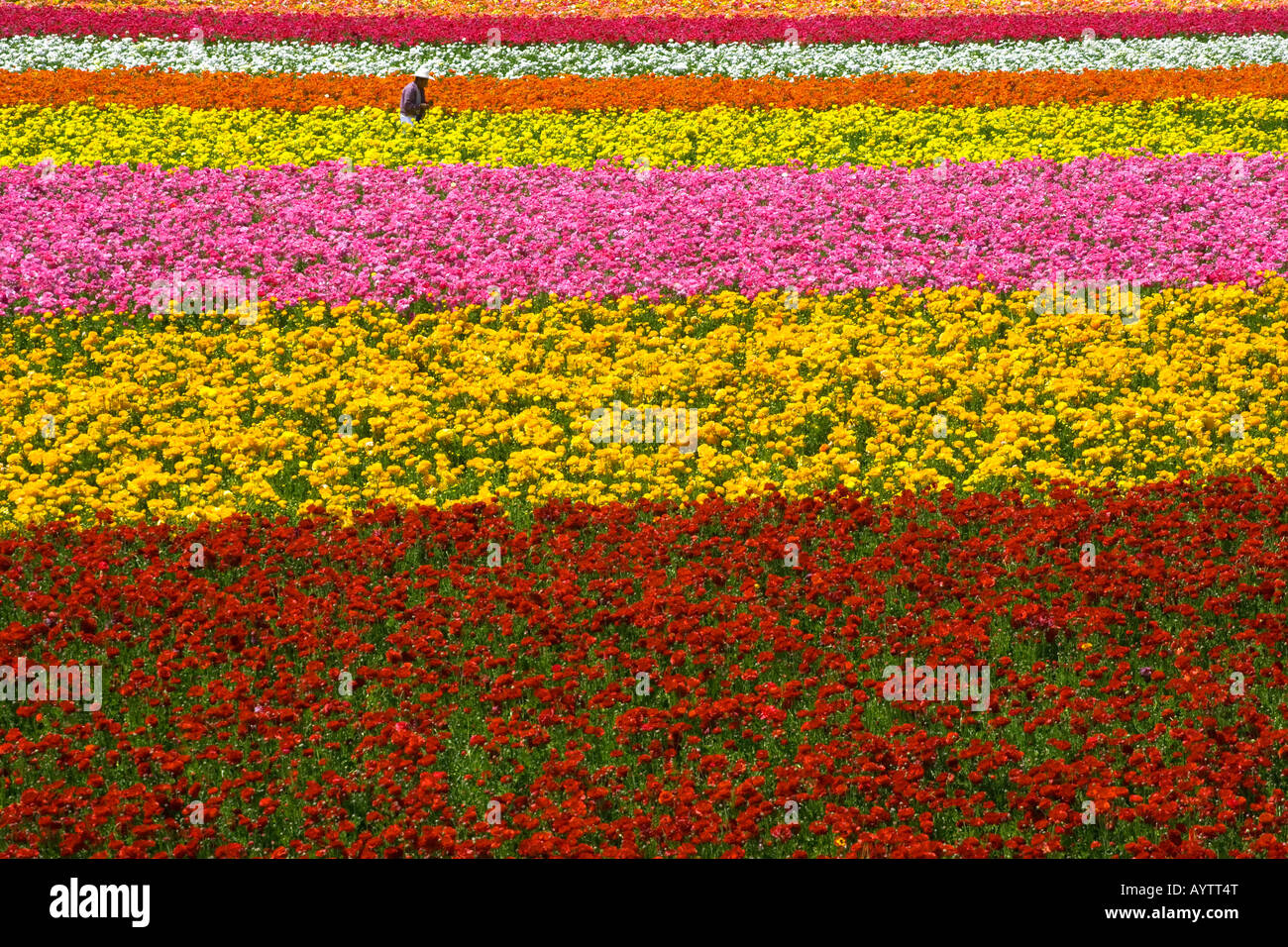 Bud picking, fields, flowers, flora, color, bright, day, sunny, San Diego, California, Carlsbad - Stock Image