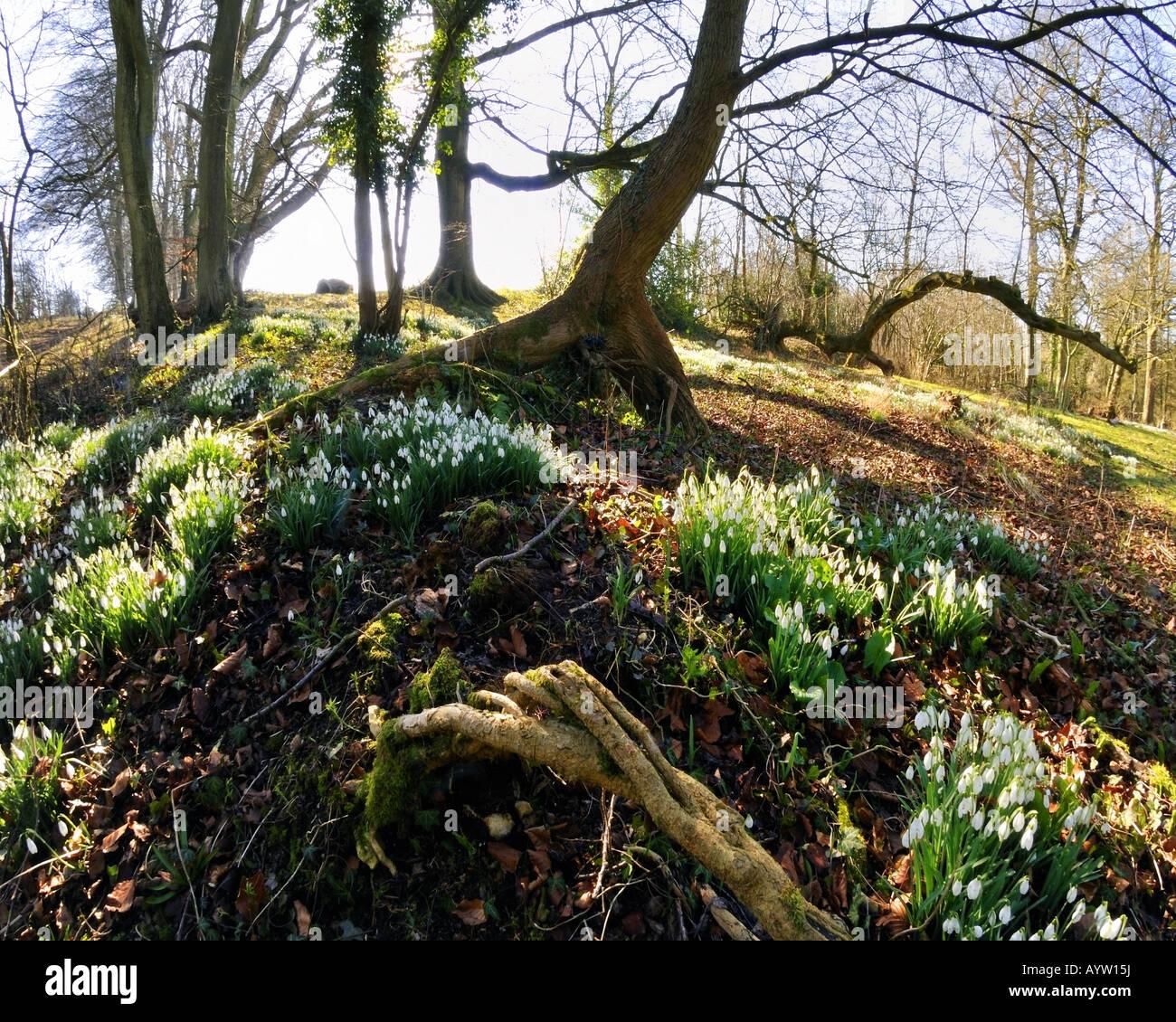 GB - GLOUCESTERSHIRE:  Snowdrops at Hilcot Wood near Cheltenham - Stock Image