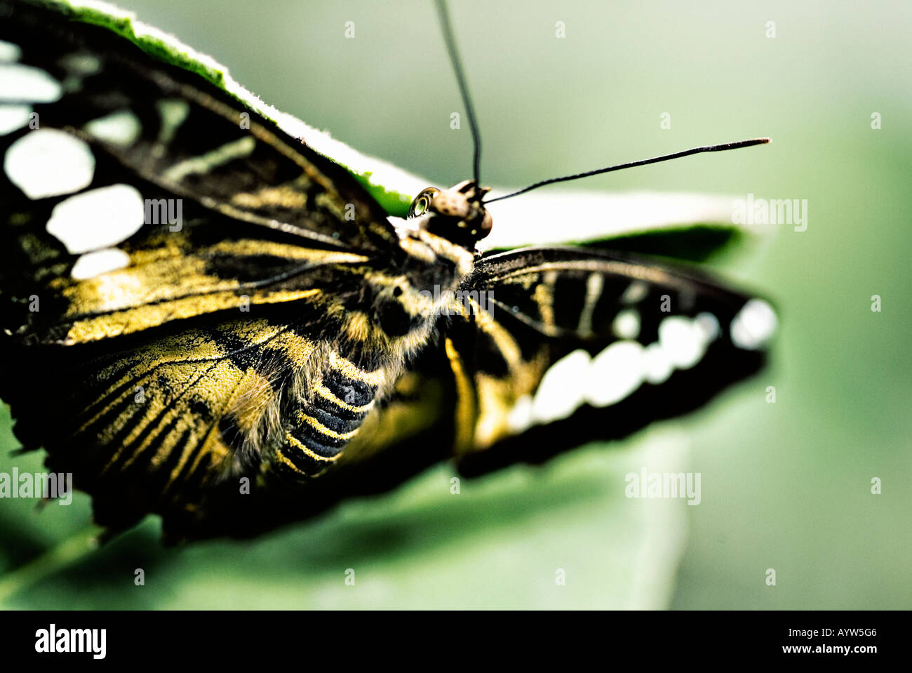 Clipper Butterfly - Stock Image