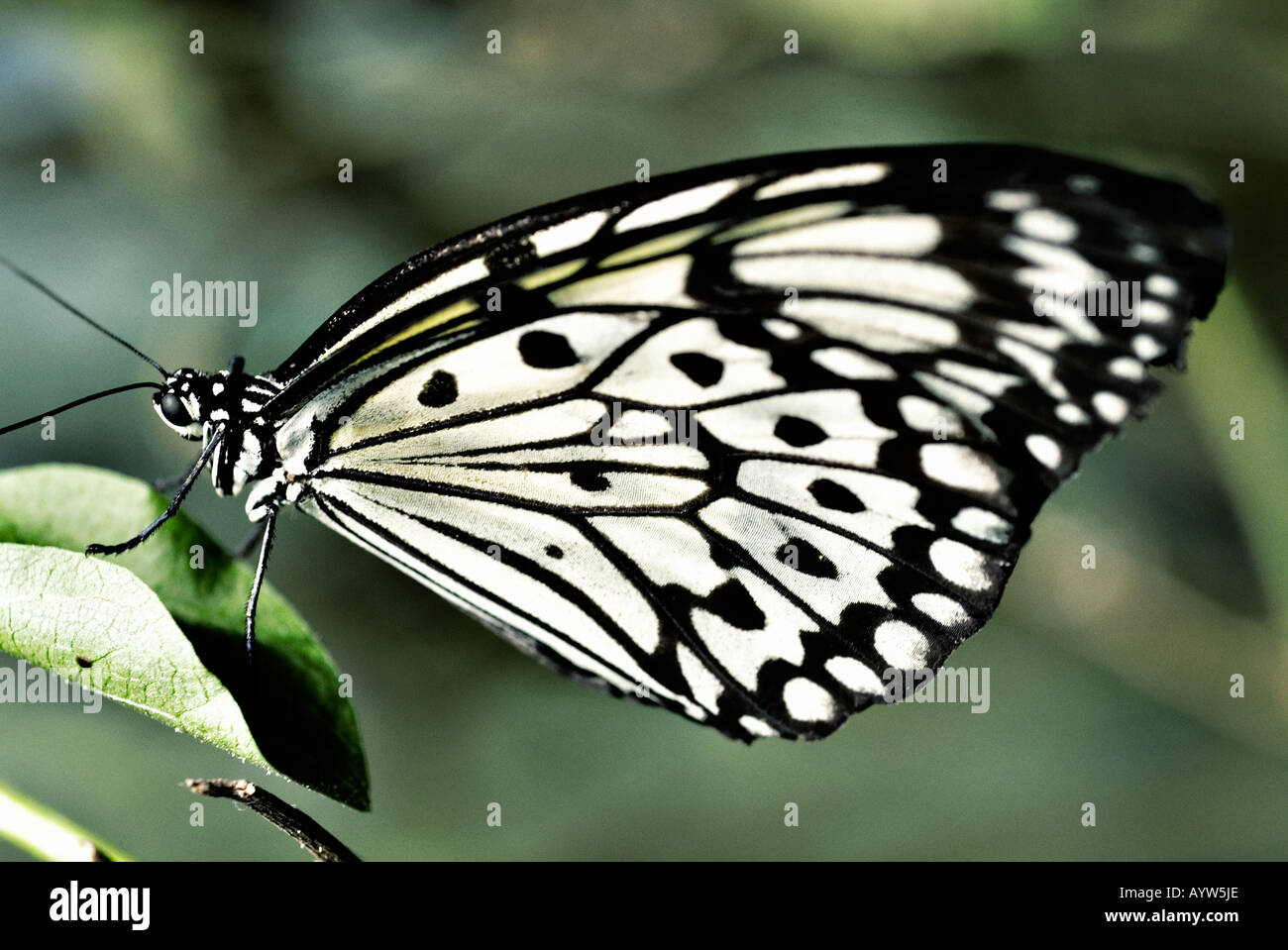 Large Tree Nymph - Stock Image