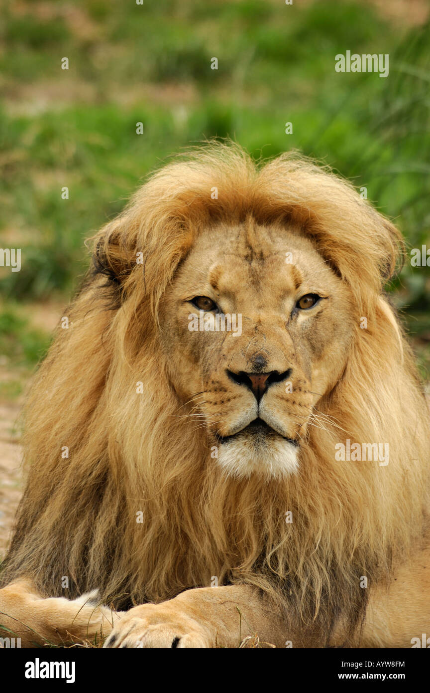 A portrait of African lion Panthera leo krugeri male vertical orientation - Stock Image