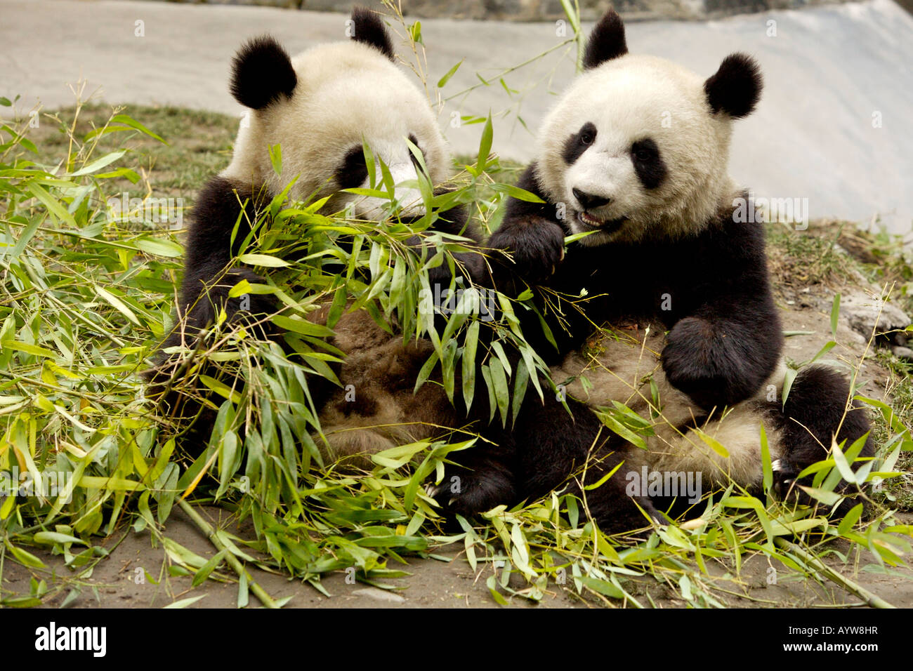 baby giant pandas eating bamboo wolong breeding center sichuan