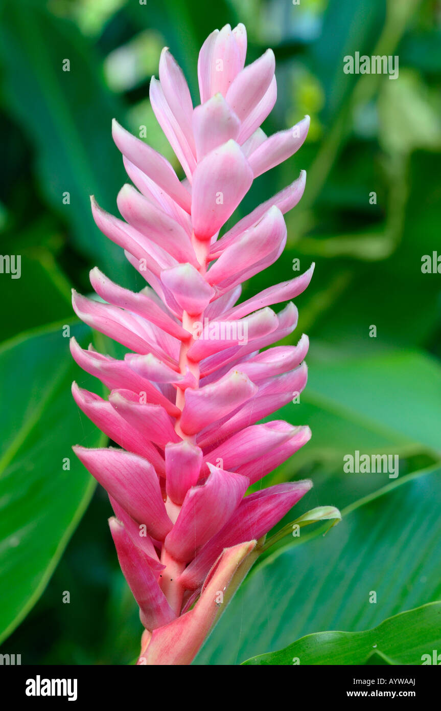 Pink ornamental ginger flower with green leaves in a tropical garden pink ornamental ginger flower with green leaves in a tropical garden costa rica mightylinksfo