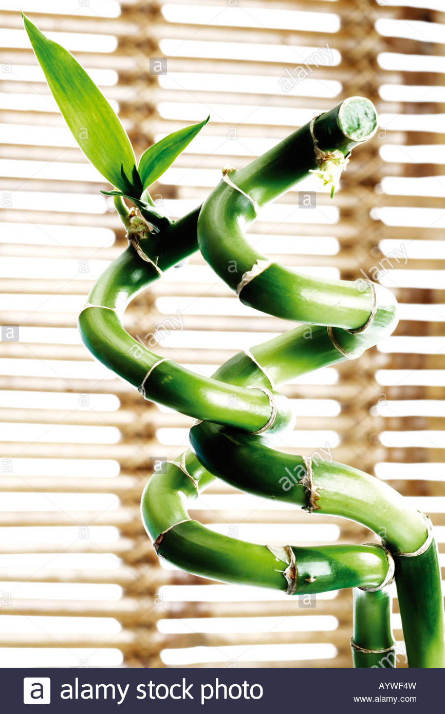 Lucky bamboo, Happiness, Luck - Stock Image