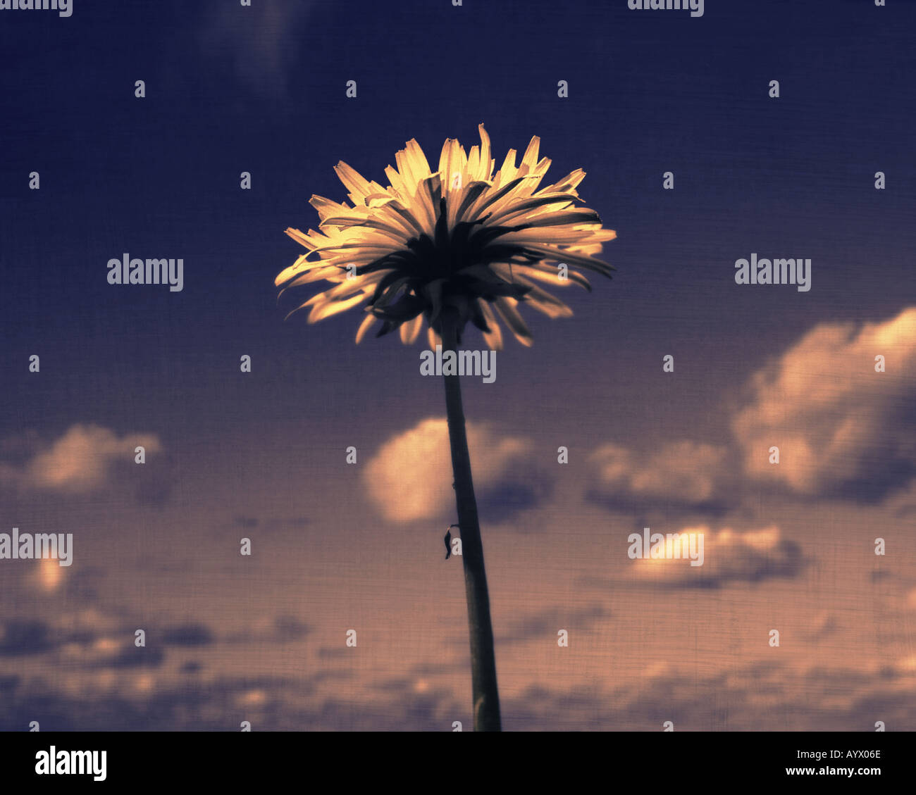 dandelion from bellow against sky - Stock Image