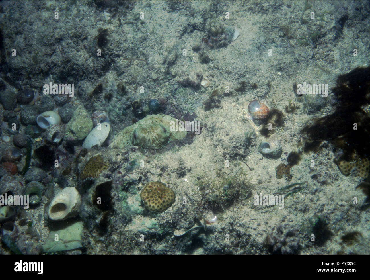 The burrow of common octopus is given away by the seashells it has discarded after eating Ink cloud on right - Stock Image