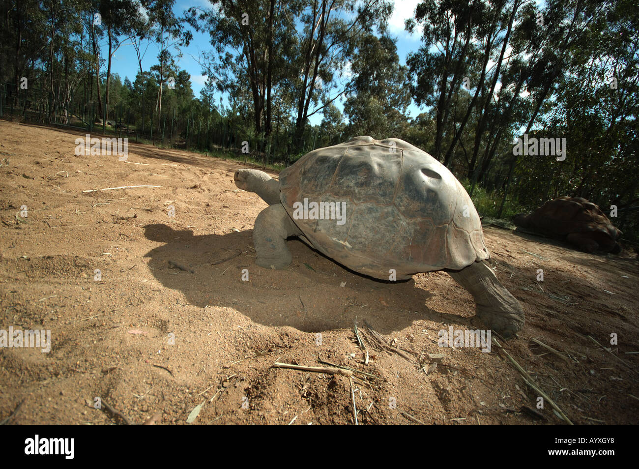 100 year old Giant Galapagos tortoise - Stock Image