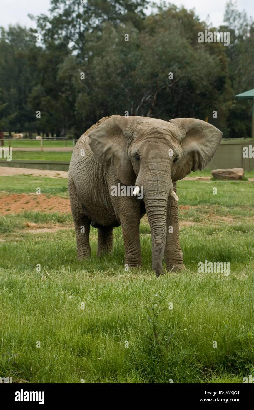 African Elephant Loxodonta Africana Dubbo Zoo NSW Australia Stock Photo