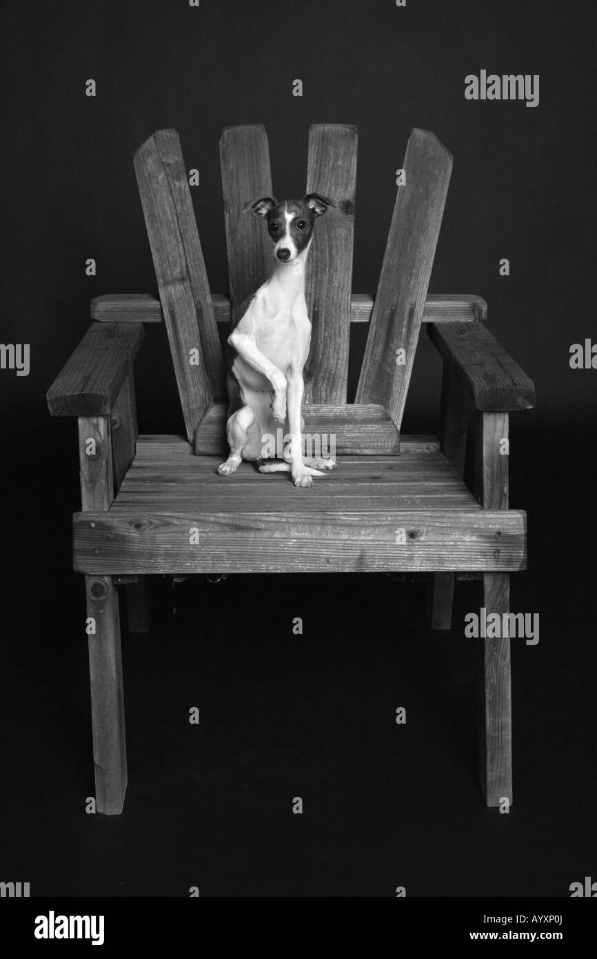 Black & white photo of Italian Greyhound On Chair Stock Photo