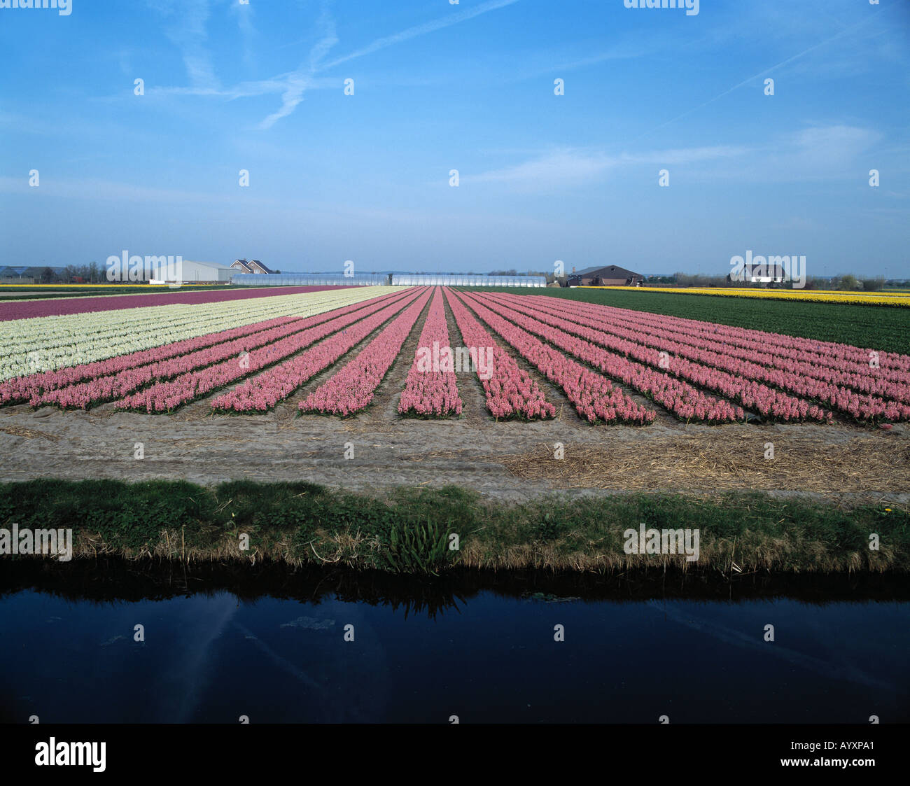 Blumenfelder am Kanal in Sassenheim, Suedholland Stock Photo