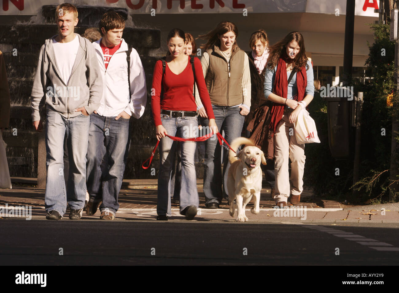 Labrador in city crossing street with juveniles - Stock Image