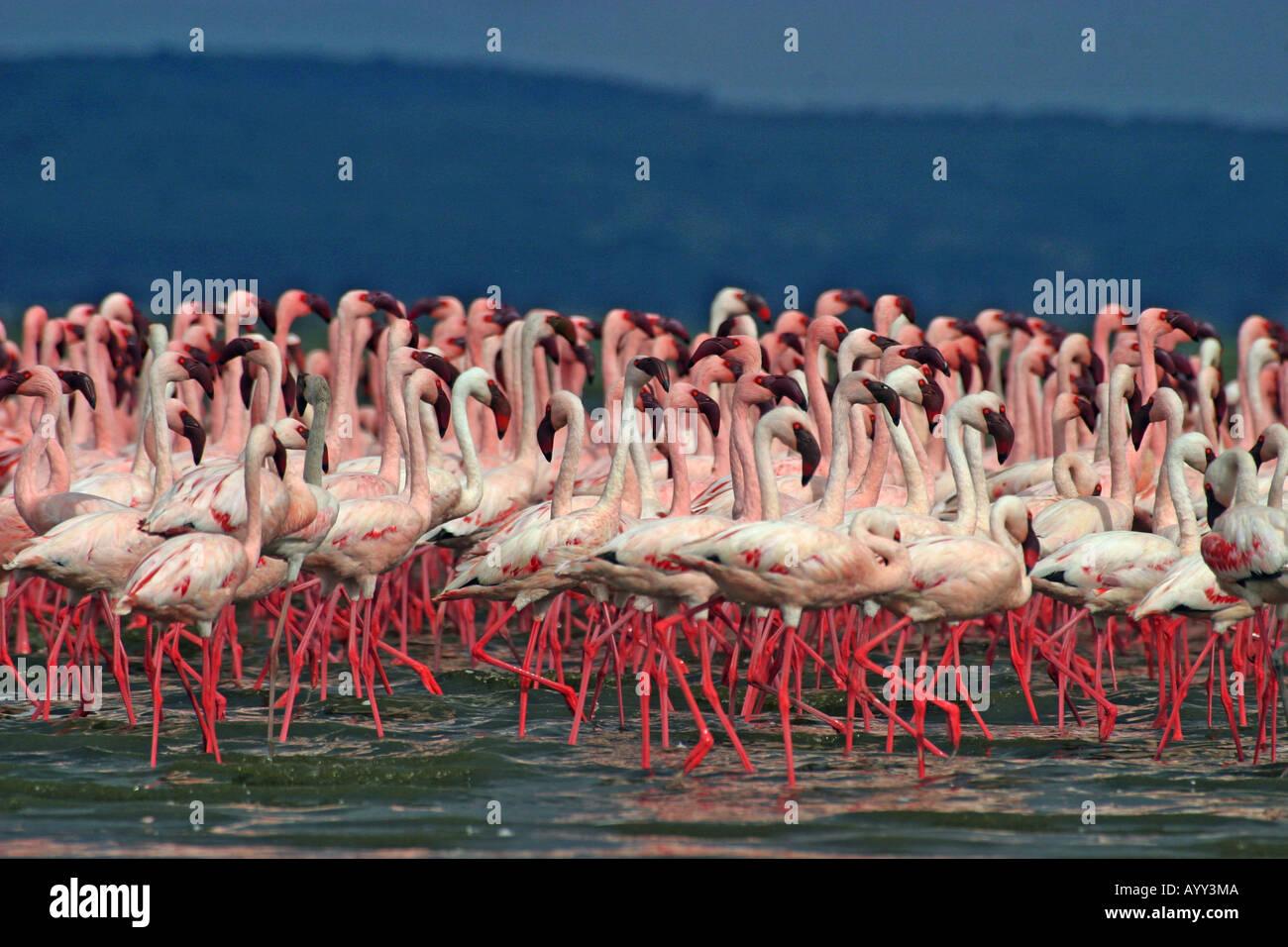 lesser flamingos courtship Phoenicopterus minor Stock Photo