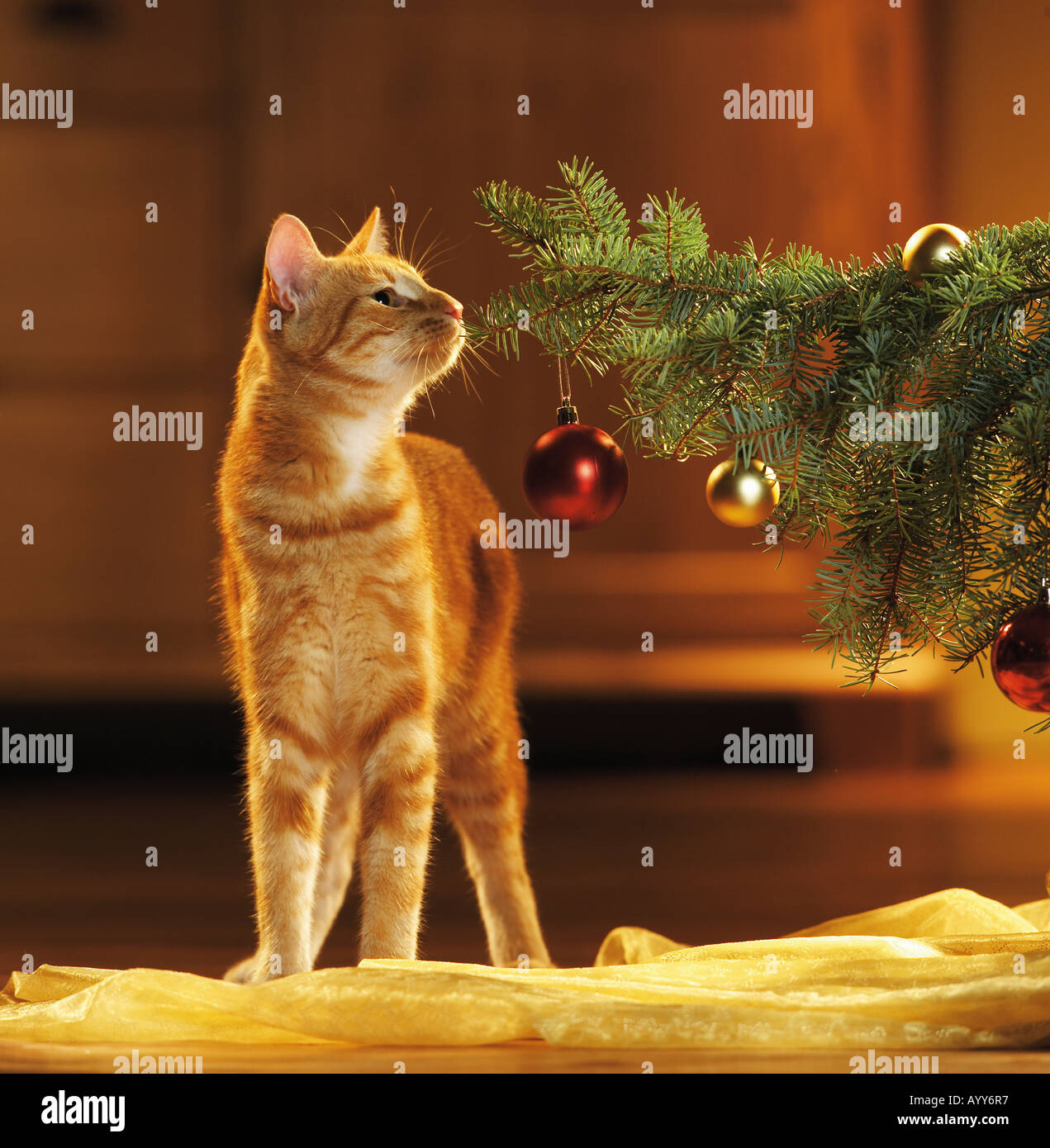 christmas : domestic cat - sniffing at twig - Stock Image