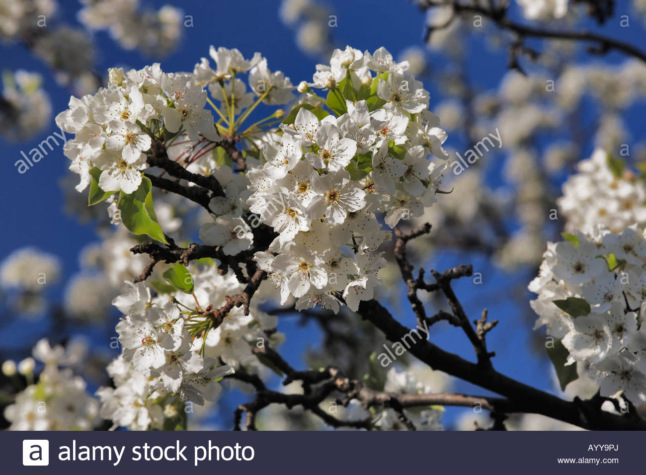 Close up of blooms on a Aristocrat Peartree in early springtime - Stock Image