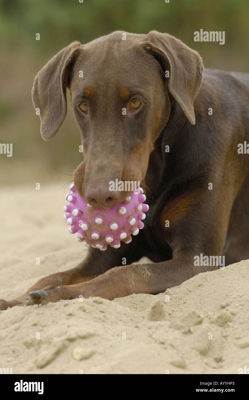 Dobermann (Canis lupus f. familiaris), with ball in mouth, portrait Stock Photo