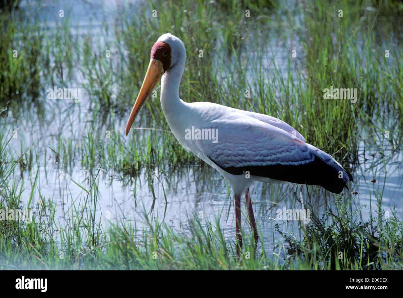 Yellow billed stork Mycteria ibis in shallow water in the rainy season Masai Mara Kenya - Stock Image