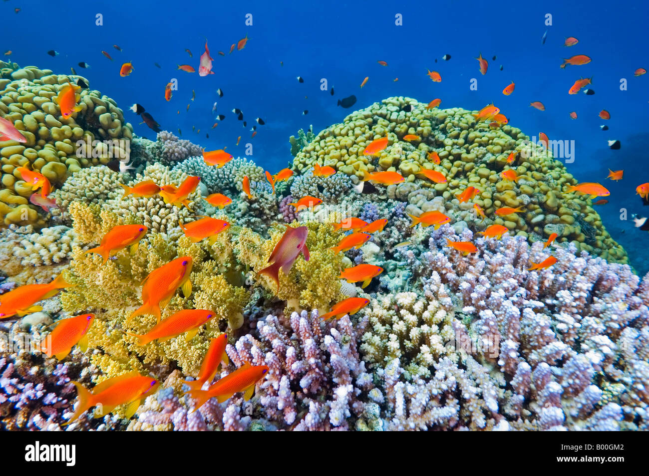 Hard coral is the home for anthias which hide inside when in danger. - Stock Image