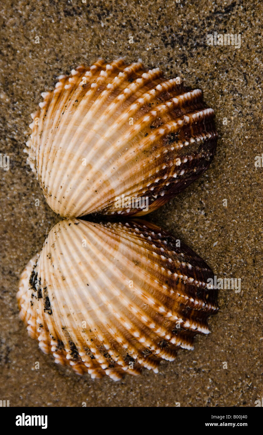 Cockle shells on a beach - Stock Image