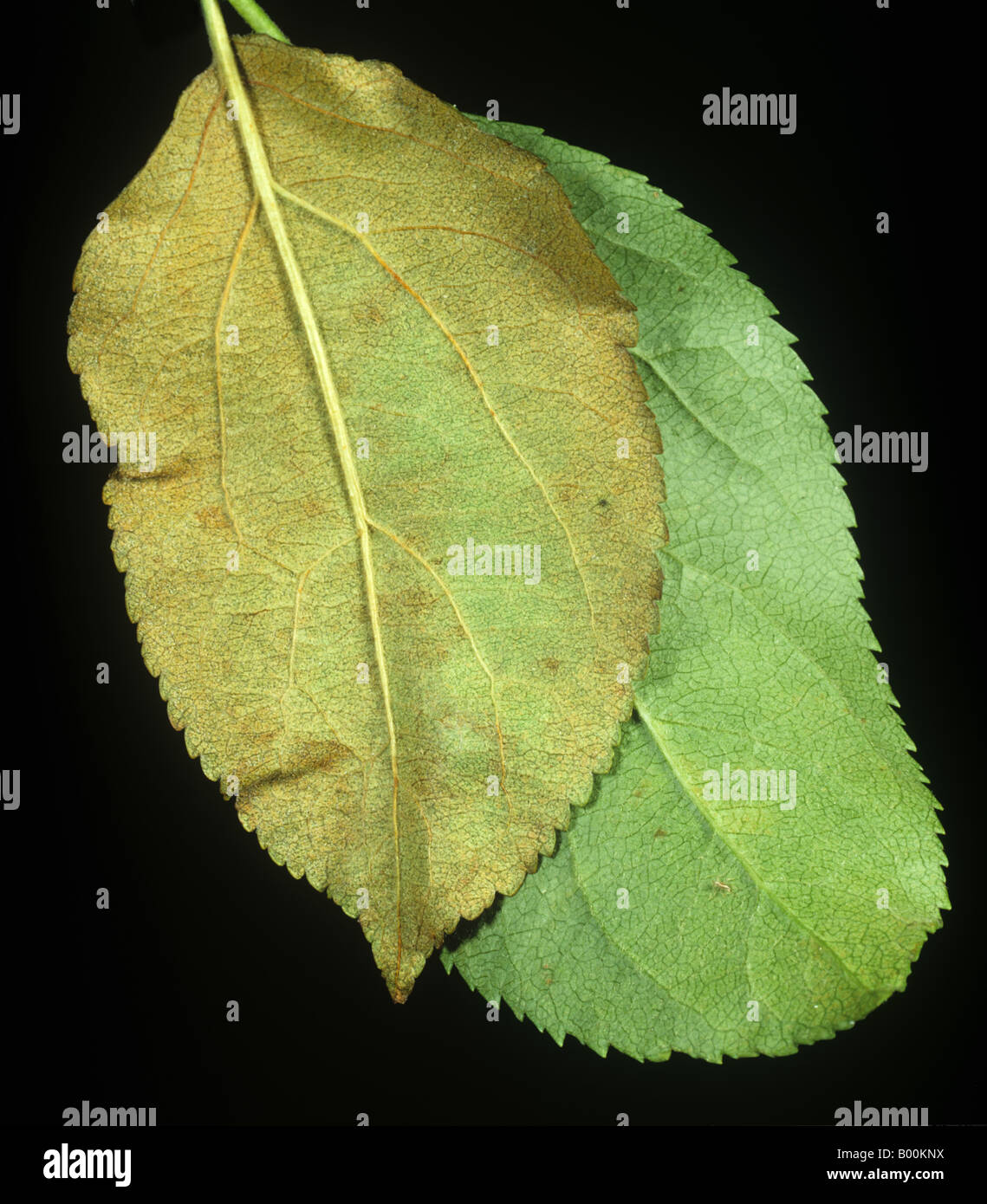 Comparison of bronzed apple leaf damaged by fruit tree red spider mite Panonychus ulmi healthy - Stock Image