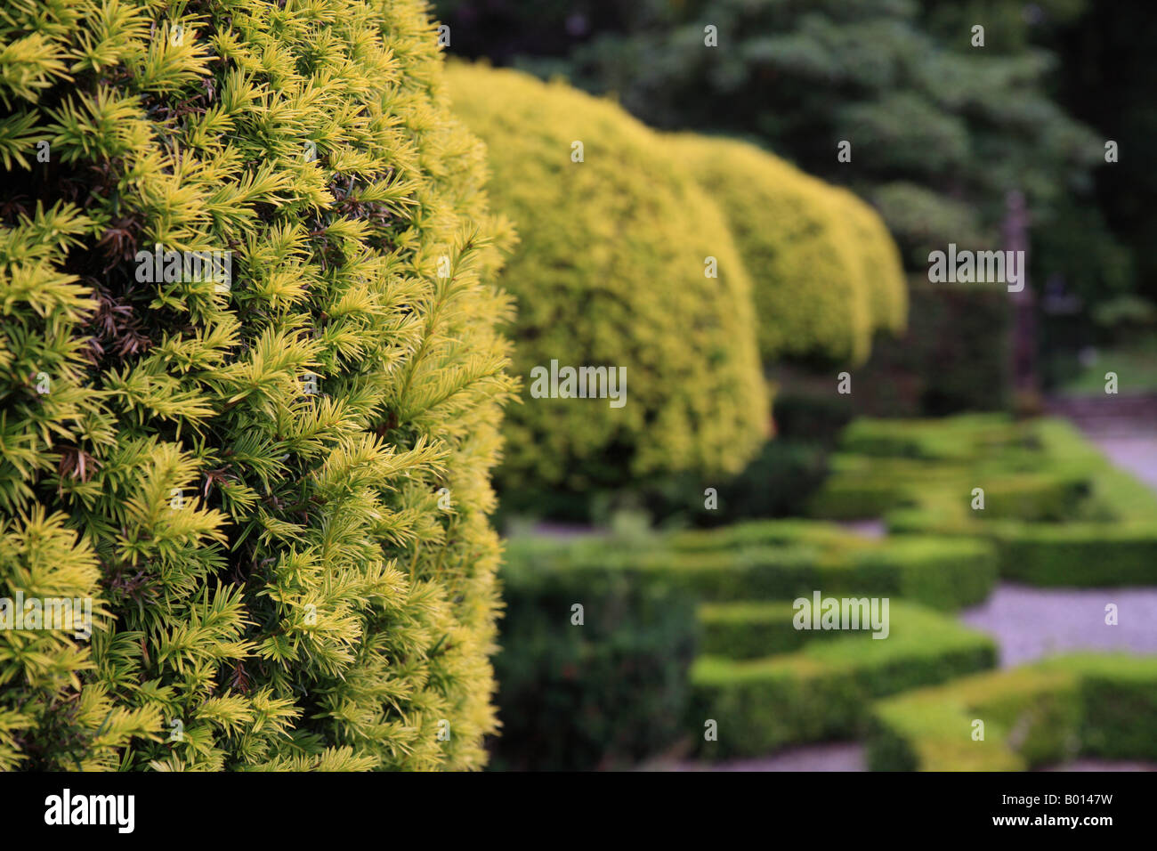 'Topiary' yew hedge clipped into ball shape 'Graythwaite Hall' Lake District. - Stock Image