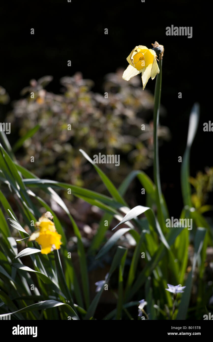 A fading daffodil against a dark background in late spring sunshine - Stock Image