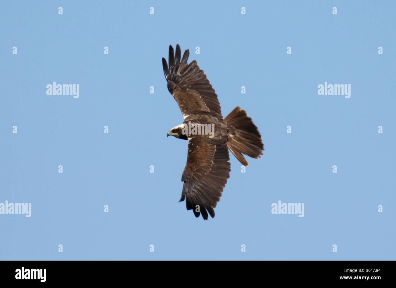 female Marsh Harrier in flight against blue sky Stock Photo