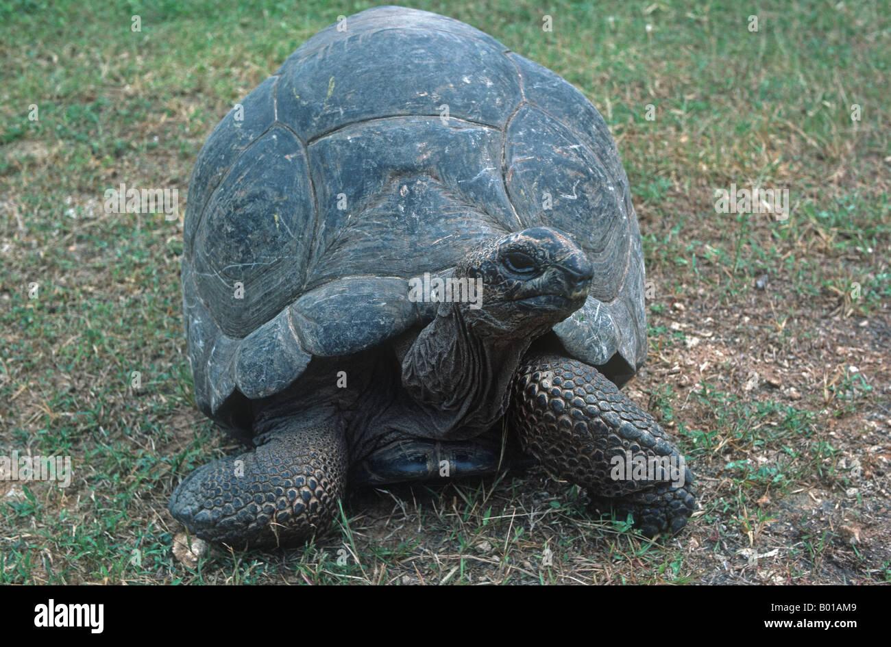 Giant tortoise Testudo gigantea native in Aldabra taken in Mombasa Kenya - Stock Image