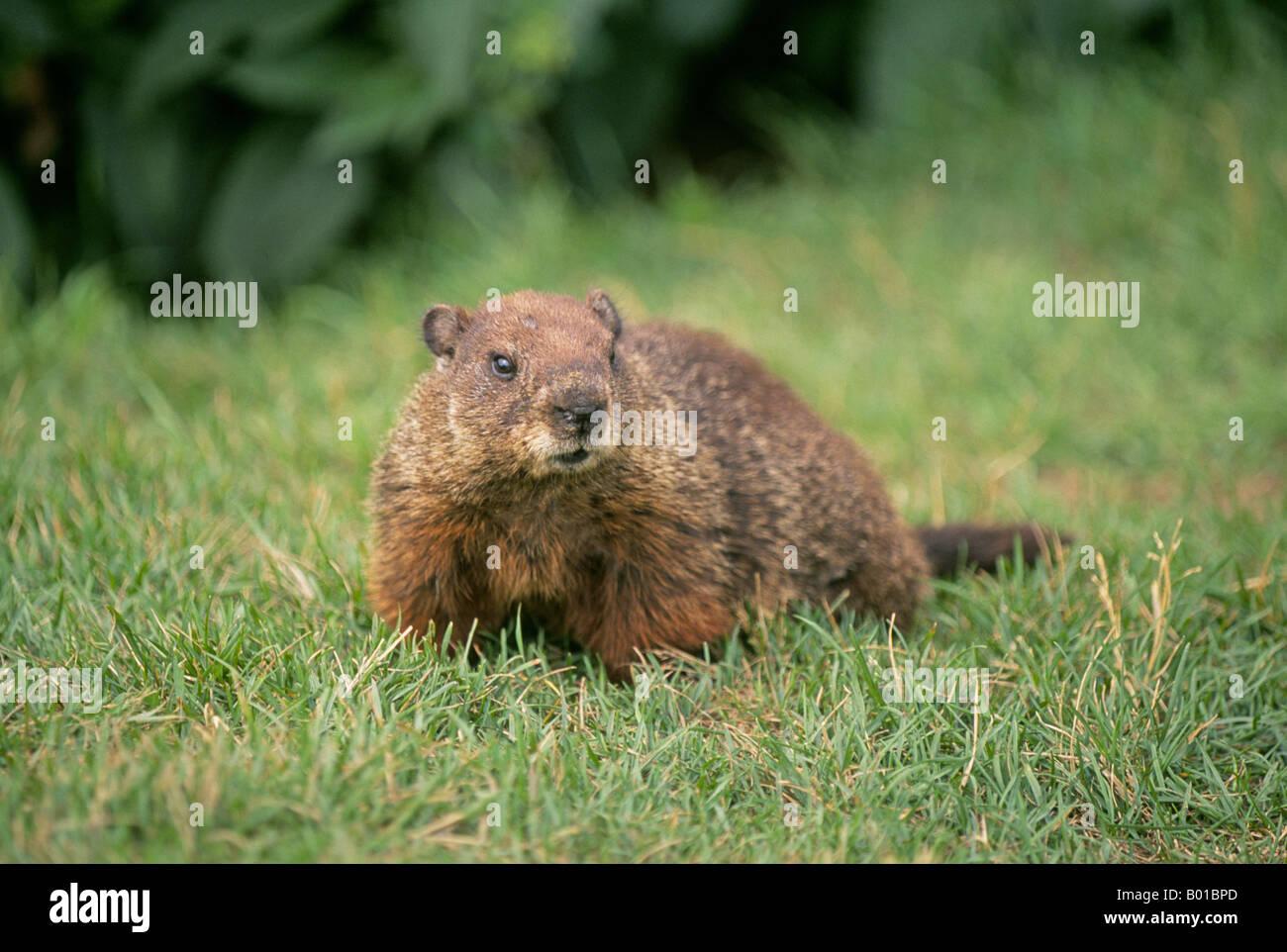 Portrait of a common woodchuck Marmota monax or groundhog - Stock Image