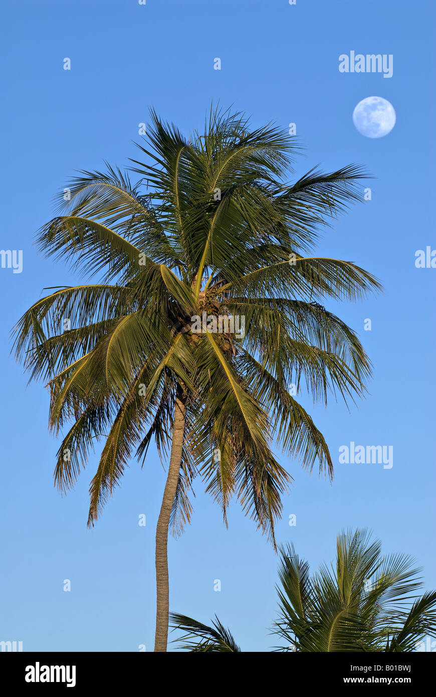 Beach side palm tree frames full moon in clear blue sky, Bahia Honda ...