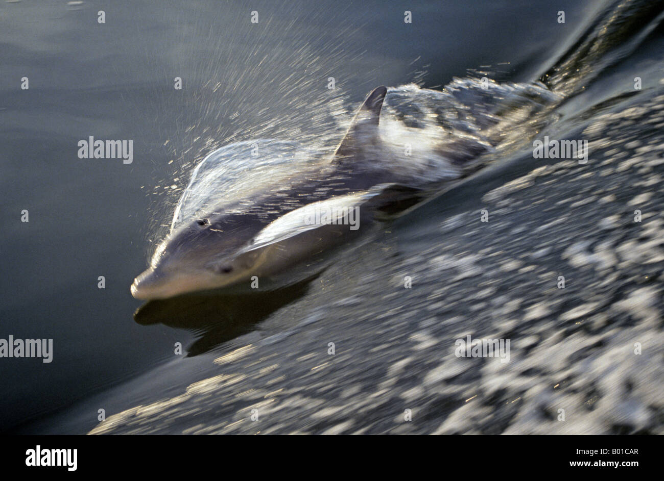 Portrait of an Atlantic bottlenose dolphin Tursiops truncatus - Stock Image
