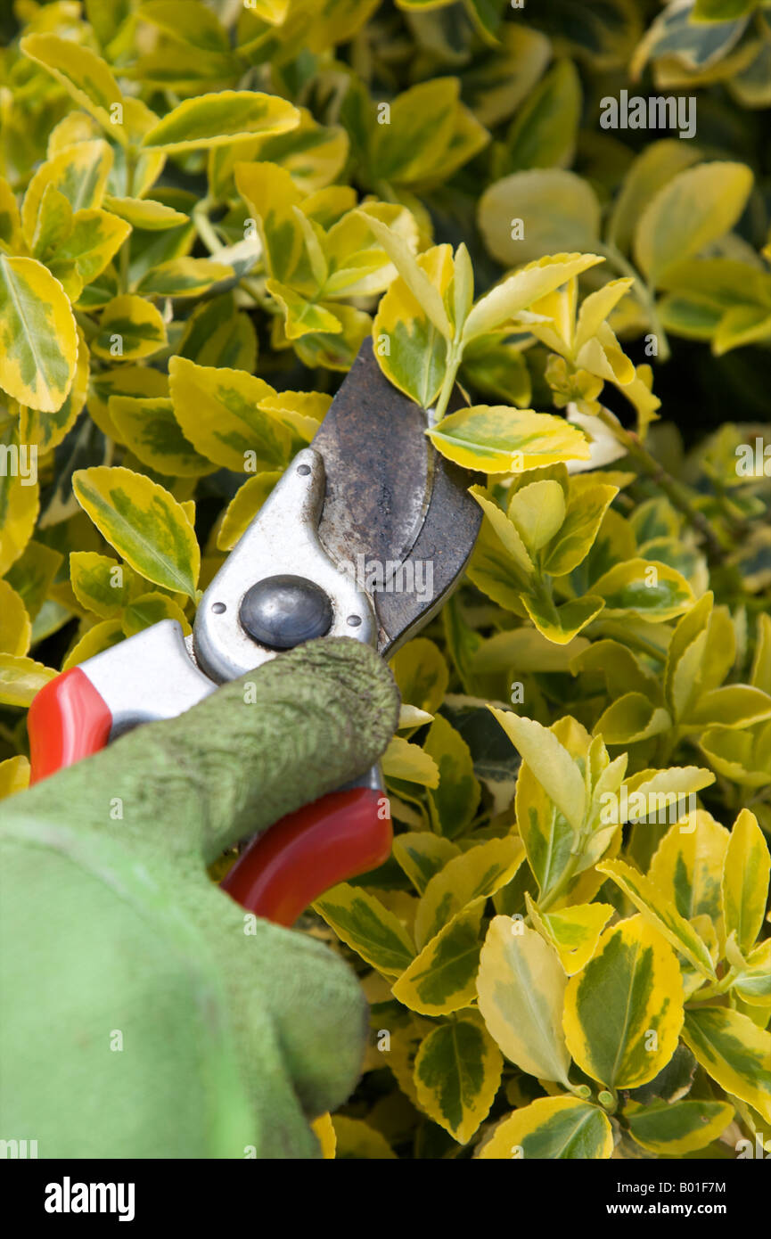 EUONYMUS CELASTRACEAE FORTUNEI EMERALD N GOLD SHRUB BEING PRUNED - Stock Image