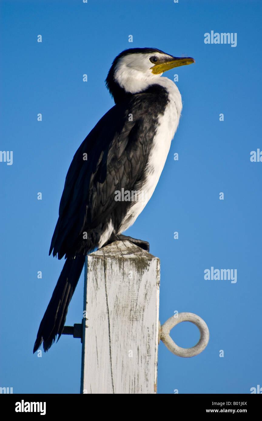 Little shag (Phalacrocorax melanoleucos, little pied shag or little pied cormorant) on a post - Stock Image
