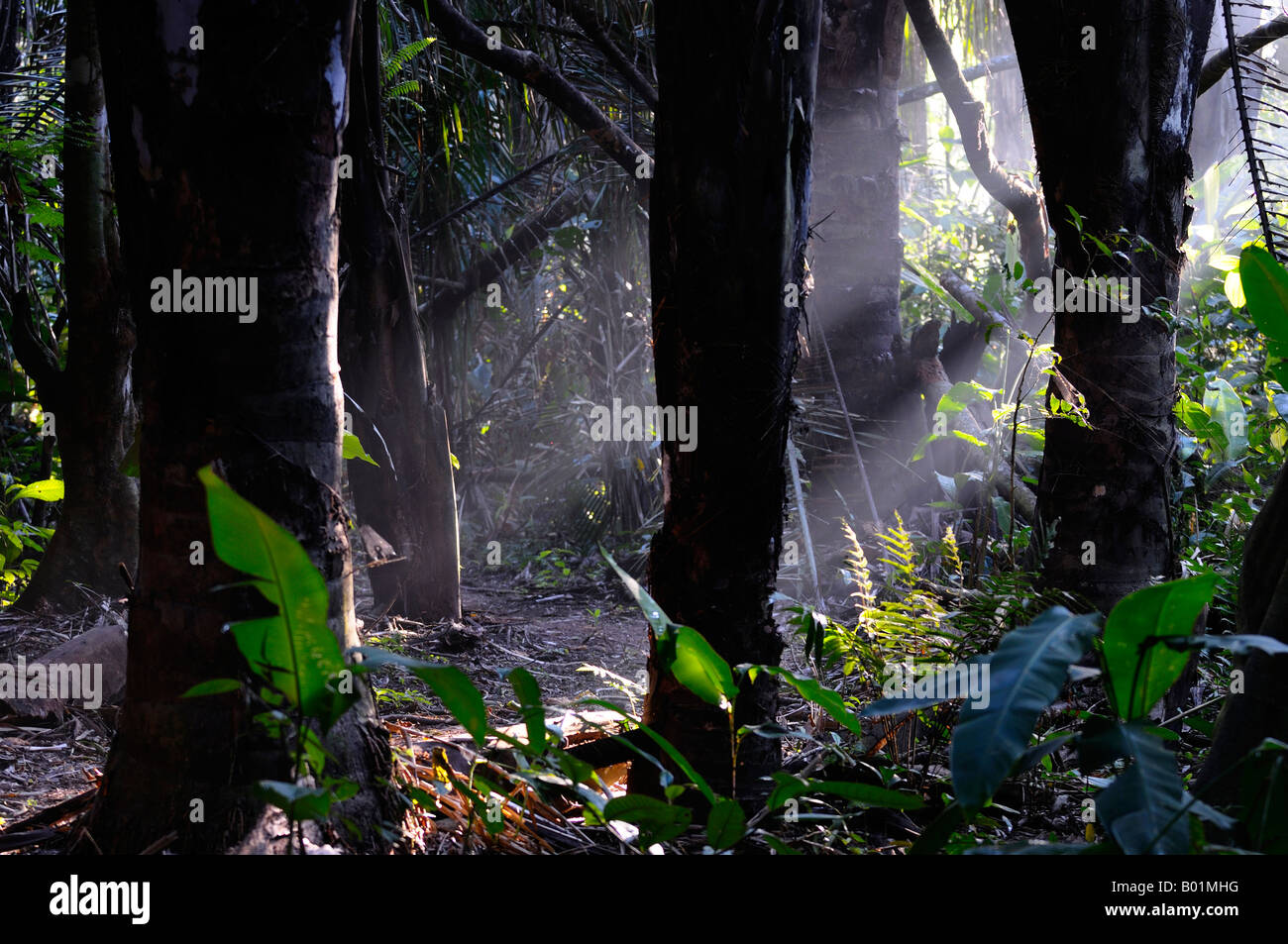 Early morning sunrays in a hot misty tropical rainforest jungle Osa Peninsula Carate Costa Rica - Stock Image
