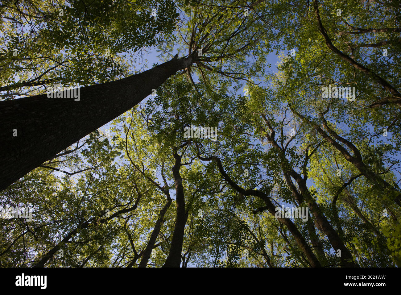 The forest canopy created by bald cypress and tupelo trees in Congaree National Park near Columbia South Carolina - Stock Image