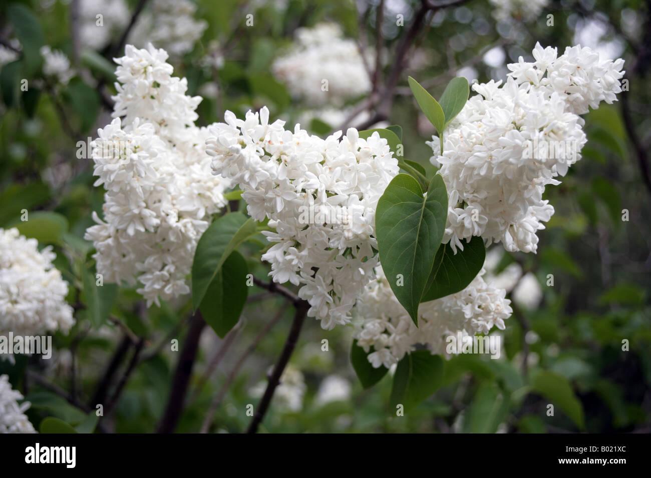 Syringa Mme Lemoine White Lilac Spring Flowering Tree In Botanical
