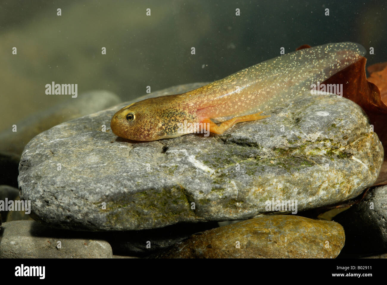 Common Frog (Rana temporaria), tadpole with hind legs and tail - Stock Image