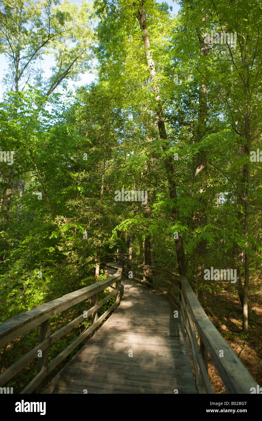 There are over 2 miles of boardwalk many of which are elevated above the forest floor winding through Congaree National - Stock Image