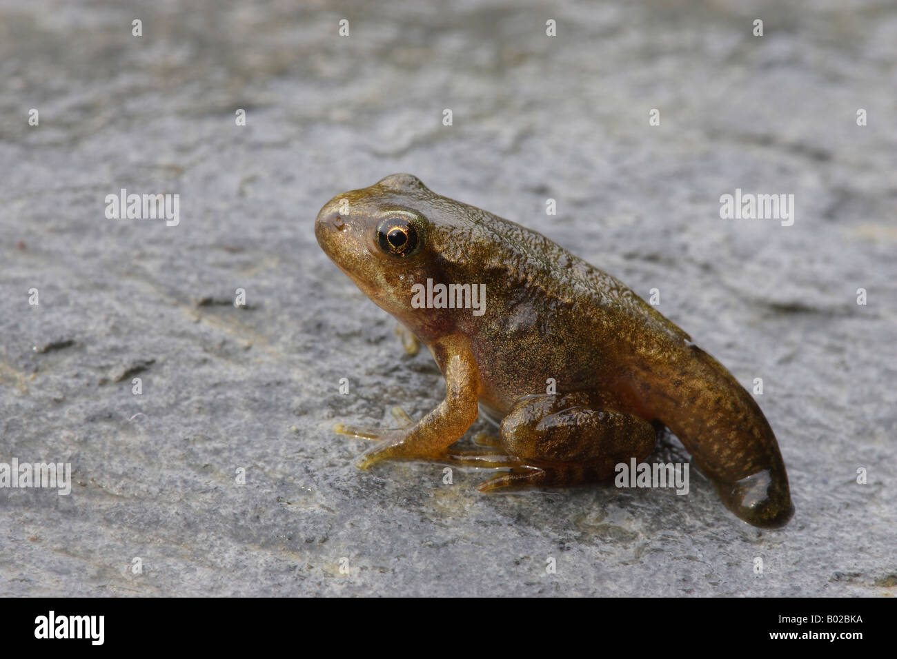 Common Frog (Rana temporaria). Young frog with the tail of the tadpole - Stock Image