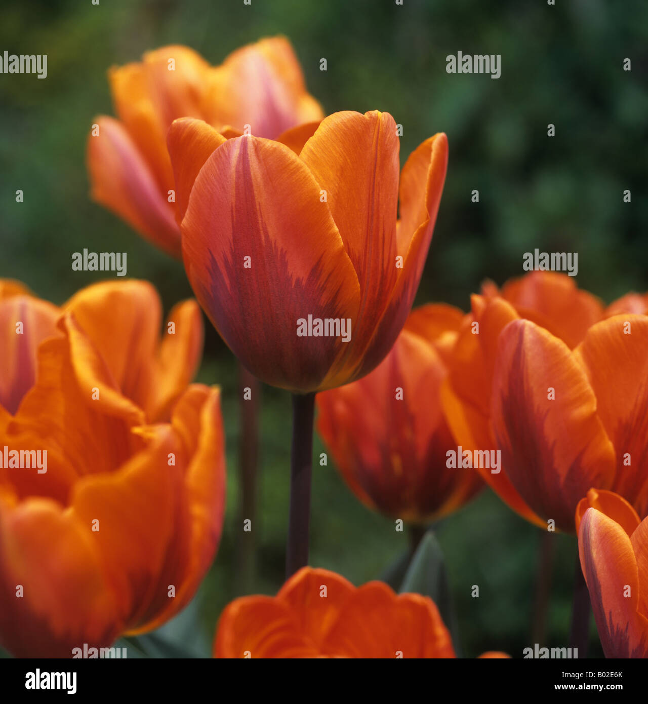 Flower of tulip Princess Irene unusual colour variant - Stock Image