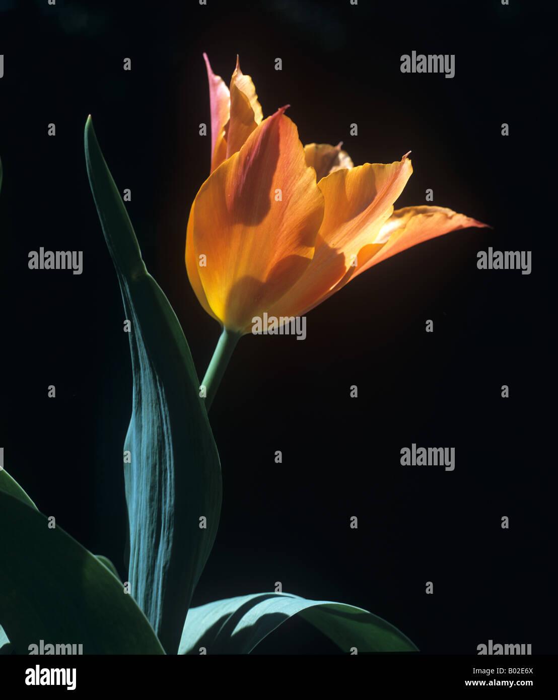 Backlit flowers of tulip Tulipa Ballerina - Stock Image
