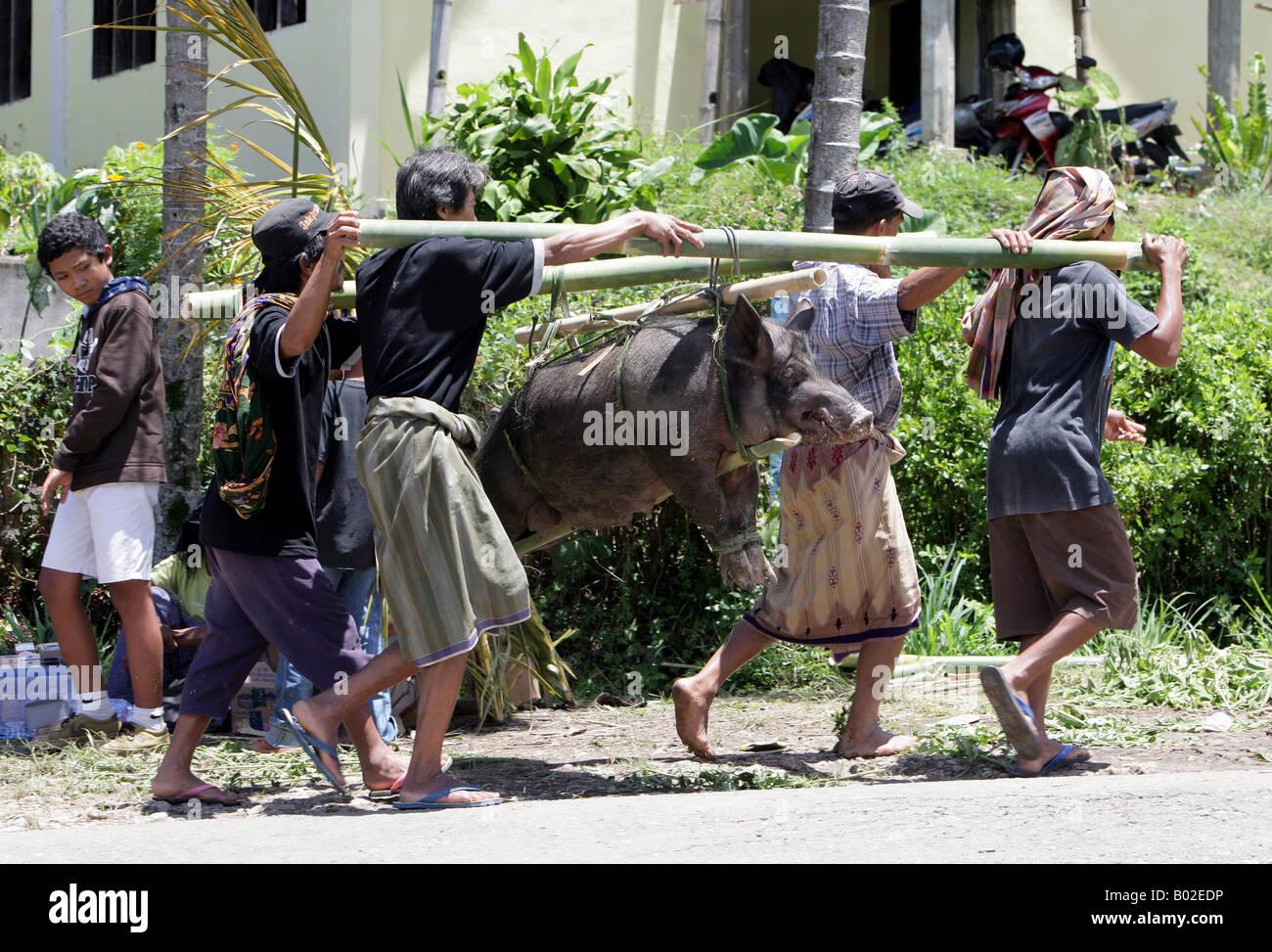 Indonesia, Sulawesi, Tanatoraja, pigs for sacrifice during funeral rites - Stock Image