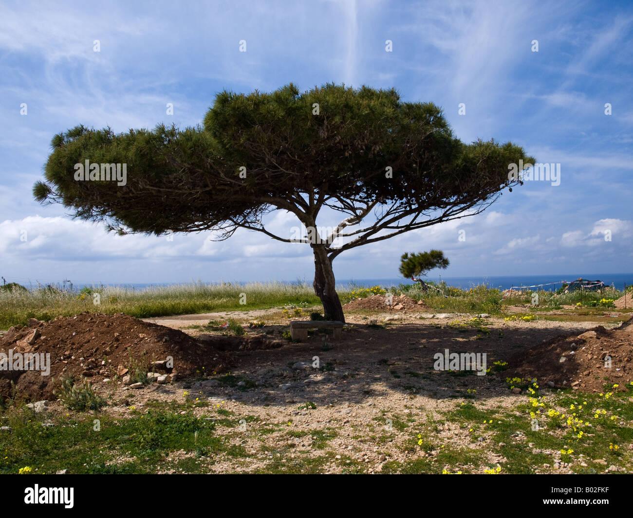 A distinctive Aleppo Pine grows in southern Malta. - Stock Image